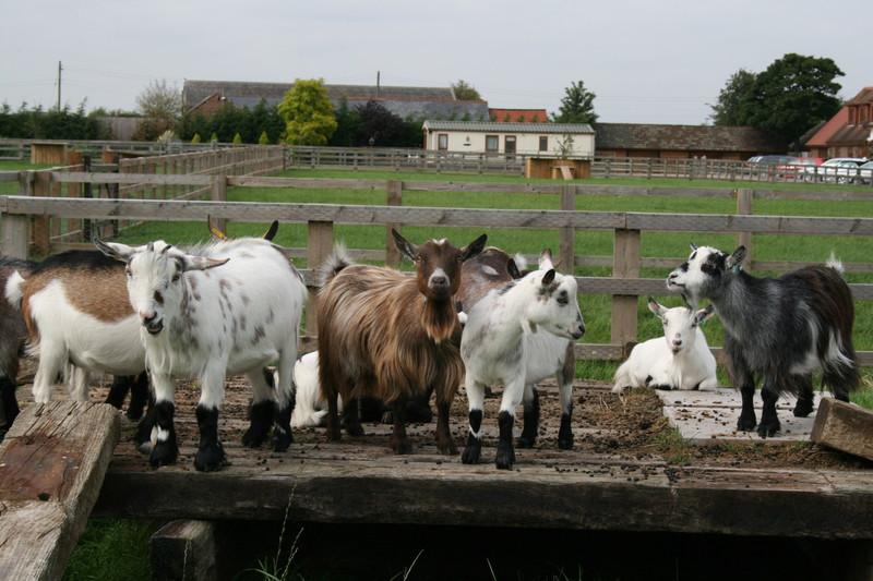 New Woods Farm - Pygmy Goats and Coloured Ryeland Sheep